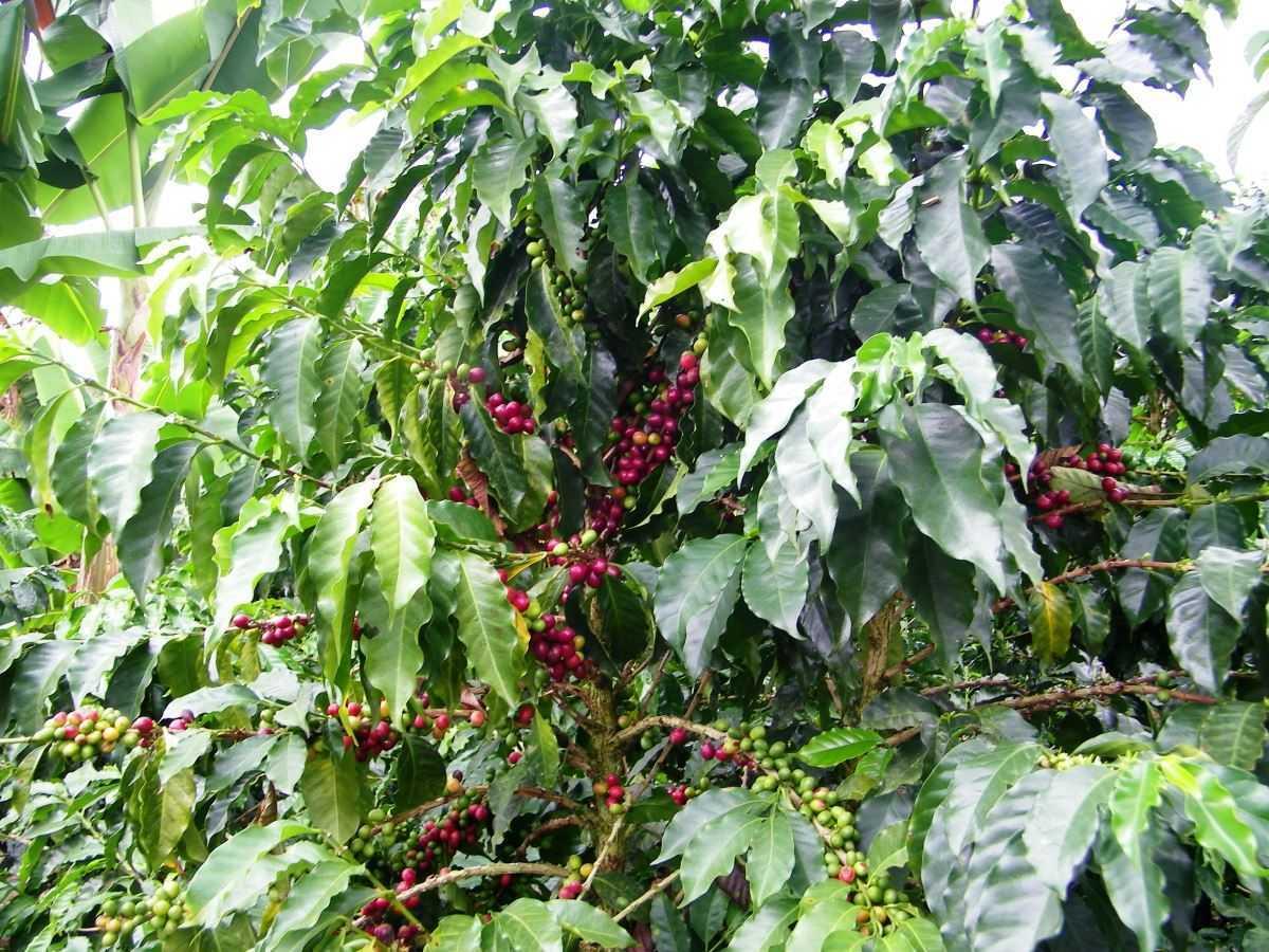 kaffeepflanze-kolumbien-kochen-aus-liebe - Kochen aus Liebe