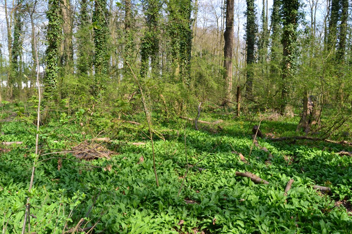 Bärlauch im Wald