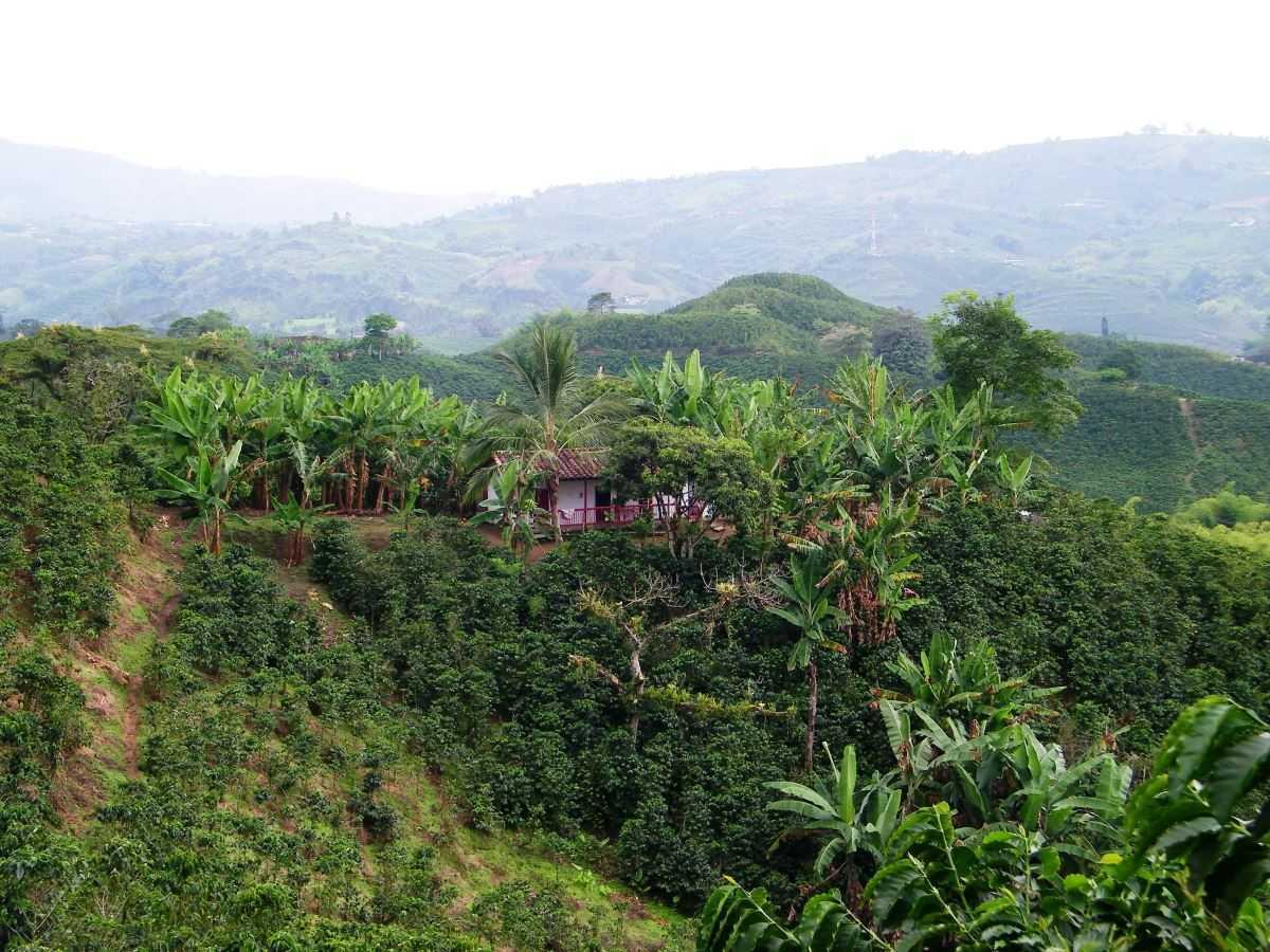 Kaffeeplantage im Hochland bei Manizales Kolumbien