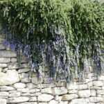 Provence hängender Rosmarin