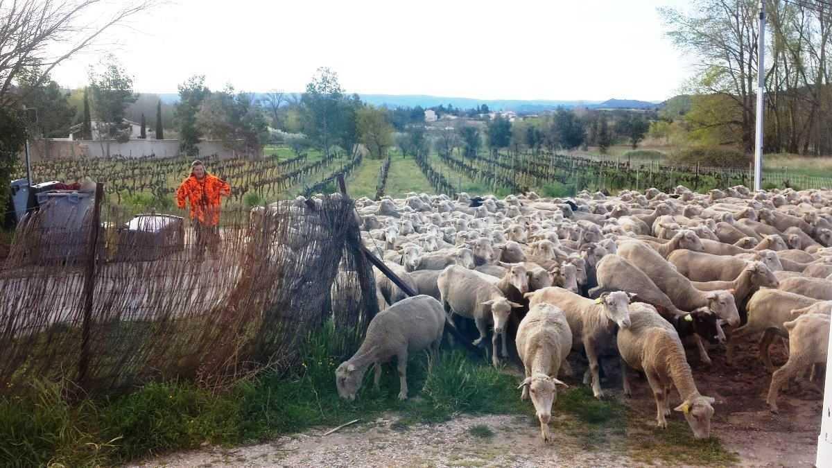 Provence Bédoin Schafherde vor dem Gite