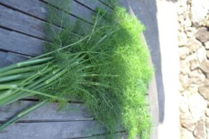wilder Fenchel