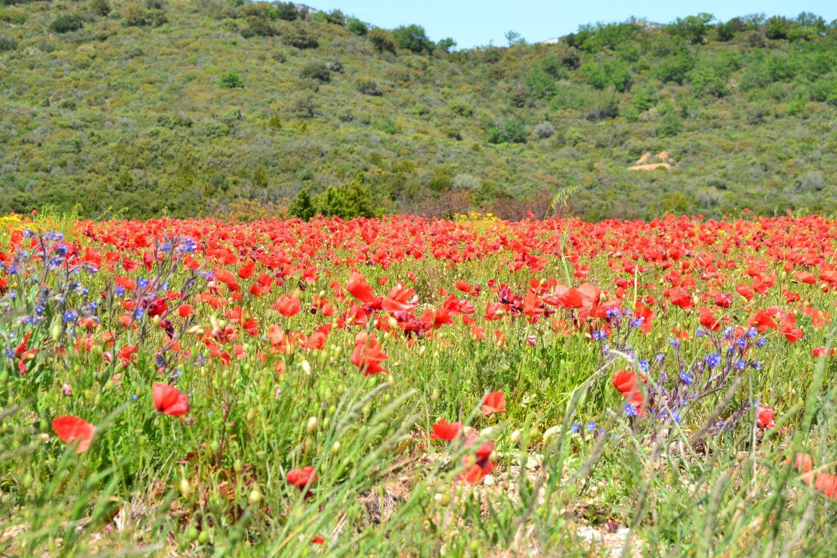 Mohnfeld im Languedoc